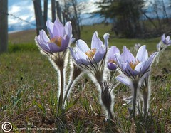 3414 Prairie Crocus 'Fuzz' (Harvey Brink - Canadian Visuals) Tags: flower crocus pasture fuzz nativeflower panoramafotogrfico fleursetpaysages ringexcellence