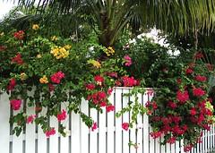 Key West (Florida) November 2010 4056bf 5x7 (edgarandron - Busy!) Tags: flowers plants flower keys florida bougainvillea keywest flowersarebeautiful