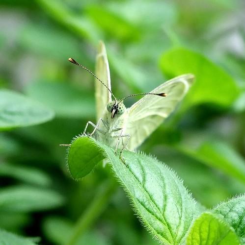 la farfalla che si mette in posa2