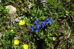 DSC_8304 (Valerio Pillar) Tags: france alps gentianaverna alpinegrassland combedemadame