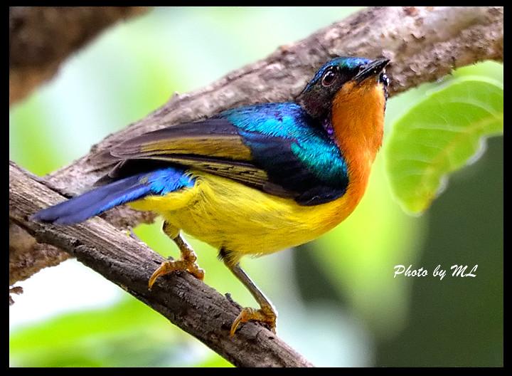 Mystery Bird Plain Throated Sunbird Anthreptes