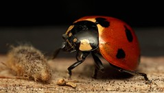 ~Return Of The Body Snatchers~ (Eddie The Bugman) Tags: interesting beetle explore ladybird parasite coleoptera mpe65mm holmepierrepont sevenspotladybird coccinella7punctata 580exiispeedlite parasitised canon5dmkii perilituscoccinallae