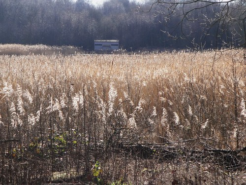 reed bed potteric carr