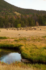 Late afternoon grazers (_jphayes_) Tags: mountain scenery colorado photos wildlife places elk mammals rockymountainnationalpark ungulates habitats streamsandrivers