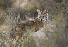 My new friend (Gizy) Tags: california coyote laketahoe diamondvalley 2011 thanksdennisforthelens