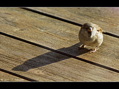 Kleiner Mann ganz gro (Sebastian.Schneider) Tags: shadow bird nature birds animal animals germany deutschland tiere hessen natur sparrow vgel schatten tier vogel spatz sperling ldk haiger lahndillkreis lahndill
