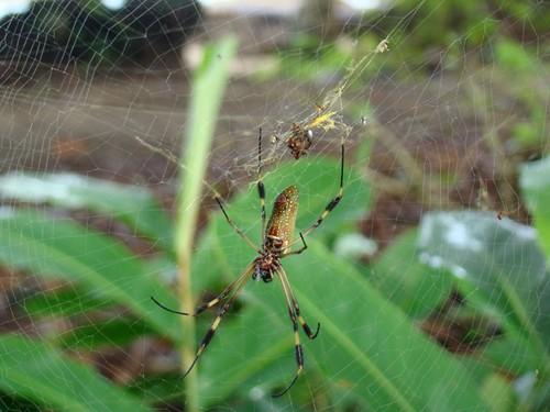 Araña maravillosa