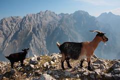 Escena familiar. (25 Tornillos) Tags: naturaleza de libertad europa asturias pokemon ganado montaa cabra picos cabras ganaderia cabrones cornion torrecerredo jultayu urrieles