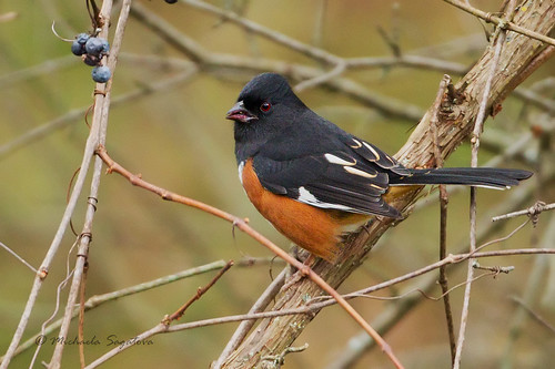 _53F9137 Eastern Towhee (red-eyed)