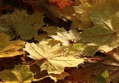 (:Linda:) Tags: autumn mist mountain germany town laub herbst jena thuringia mapleleaf blatt autumnal ahorn sonnenberge ahornbaum