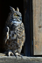 Wise One * (wellscenephotography (ON)) Tags: light sunlight color eye vertical closeup barn rural photography october day body wildlife rustic profile beak feathers full raptor owl perch wisdom 32 claws greathornedowl talons photograpy 2011 alchristensen 102311 wellscenephhotography