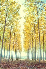 soft talk of poplar trees (ana.gr.) Tags: tree fall leaves otoo atumn