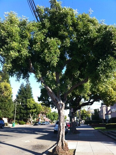 Unknown Alameda Street Tree (4/4)