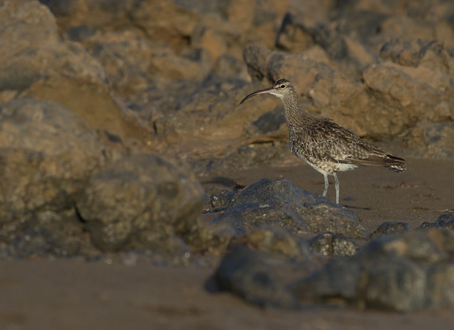 whimbrel 300mm on beach