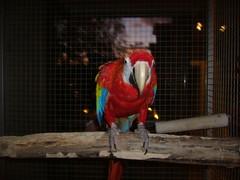 Late night (Zanizaila) Tags: scarlet macaw loro ara macao ljusröd guacamayo papegoja