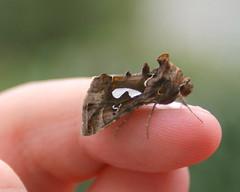 Moth-1st view (jacki-dee) Tags: autumn plant fall oregon portland id moth bark horticulture identify horned biloba looper owlet washingtoncounty owletmoth bilobedloopermoth barklike bilobedlooper megalographabiloba bilobed megalographa
