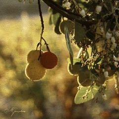 Medronheiro (Transmontano) Tags: tree textura portugal photoshop arvores texturas textured bragança arbutusunedo braganca vilaflor idream xoox transmontano ilustrarportugal addvf portugalmagico