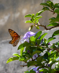 Who sees the beauty of life on the wings of a butterfly, or colors of a flower, you will know to appreciate what is human and preserve what is divine. Daiane Rabelo (Solifree) Tags: nature butterfly natureza borboleta doubleniceshot panasonicdmcfz35 tripleniceshot blinkagain artistoftheyearlevel2