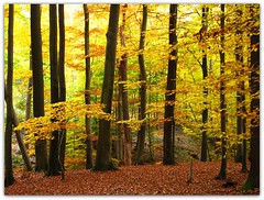 Autumn in the Beech Forest (Habub3) Tags: wood travel autumn holiday plant color tree fall nature leaves forest canon germany deutschland buchenwald interesting flora europa europe stuttgart urlaub laub herbst natur pflanzen explore gelb blatt wald baum beech bunt vacanze reise farben g12 rotenberg buchen 2011 viewonblack habub3 mygearandme