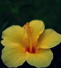 hibiscus (Anupam Kamal) Tags: wild india flower macro green love nature up yellow 35mm canon garden close bokeh bangalore hibiscus smell pollen fragrance hibiscuswonder anupamkamal