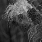 Milkweed seed drops thumbnail
