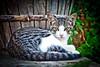 Cendra de joven / Young Cendra (Juan Antonio Capó) Tags: animal cat kat feline chat gato felino katze mace 猫 gatto חתול kot gat kočka kedi kissa köttur mačka kucing pusa mèo moix گربه кошка 고양이 minino γάτα мачка котка pisică แมว قط кішка 잭 マヨルカ島 קאַץ վալետ िल्ली バレアレス諸島