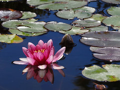 Water lily (Home Land & Sea) Tags: pink newzealand flower reflection waterlily nz napier sonycybershot hawkesbay lilypond sooc clivesquare homelandsea dschx100v