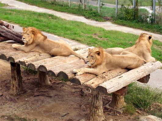 くつろぐライオンの皆さん。