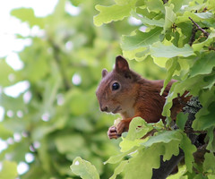 Oak Trees Rule! (TomiTapio) Tags: face helsinki oak squirrel eating orava paws écureuil upatree sciurusvulgaris sqrl eurasianredsquirrel kurre
