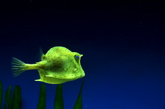 Scrawled Cowfish (scb.mypics) Tags: tampa zoo florida cowfish lowryparkzoo scrawled zoosofnorthamerica scrawledcowfish lpbright