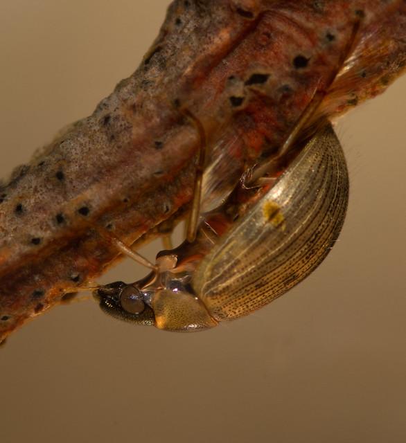 Berosus signaticoillis water scavenger beetle 2