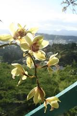 Orchid (Vaughanoblapski!) Tags: orchid wellington img homestay koromiko