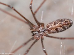 Daddy long leg (Remco555) Tags: bug insect spider insects bugs daddylonglegs daddylongleg