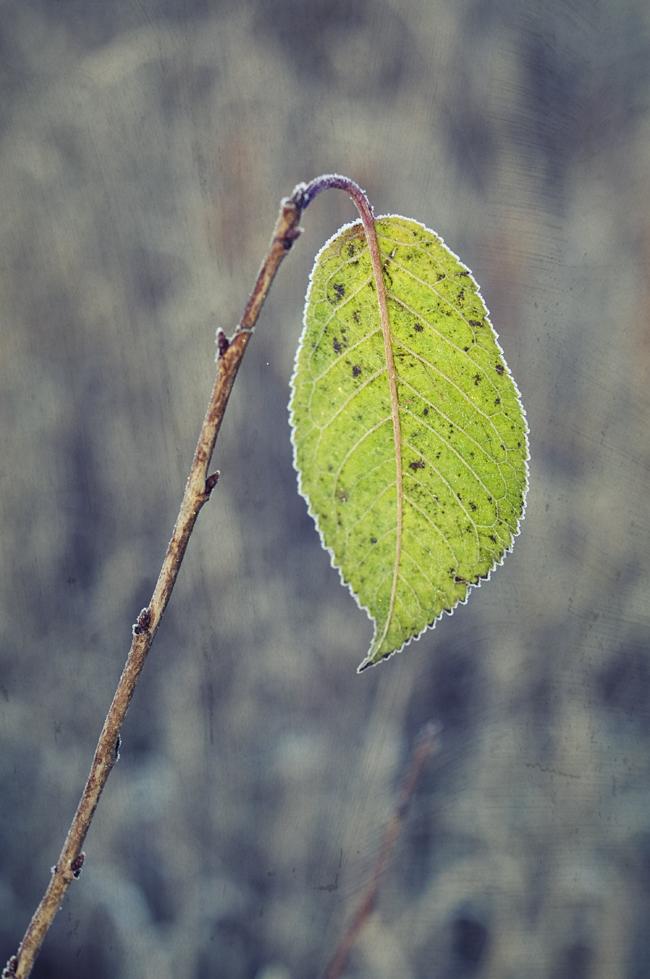 ensamt löv