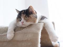 guremike (guremike) Tags: pet cats pets animal animals cat calico scottishfold ricoh a12 gxr