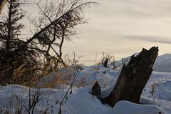 old stump in snow (CB in AK) Tags: winter snow alaska evening stump