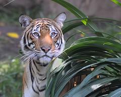 Tiger at San Diego Zoo-03 8-5-08