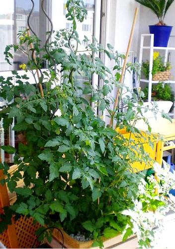 Tomate ende juni