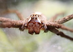 Your protector (out in the sticks) Tags: macro female spider arachnid invertebrate arthropod nurserywebspider pisauramirabilis canonef100mmf28macrousm canoneos50d macrolife