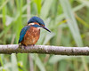 Today at Brandon Two (Andrew Haynes Wildlife Images) Tags: nature wildlife kingfisher coventry warwickshire brandonmarsh ajh2008 carltonhide