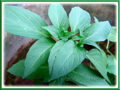 Ocimum basilicum (Sweet Basil)