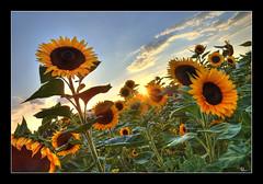 les tournesols lui tournent le dos (Mathieu Muller) Tags: flowers sunset sky sun fleur clouds landscape soleil coucher wideangle ciel sunflowers lensflare flare fusion nuages paysage hdr contrejour tournesols cpl grandangle tonemapping mathieumuller
