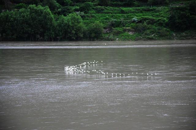江面上的小白鷺