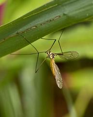 Spotted Crane-fly (Nephrotoma appendiculata), Brandon Marsh, Warwickshire 05Jul11 (Lathers) Tags: brandon warwickshire nbw spottedcranefly nephrotomaappendiculata canonef300mmf4lisusm canon7d wildinthemidlands wkwt 05jul11
