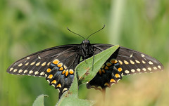 2011 Eastern Black Swallowtail (Papilio polyxenes) (DrLensCap) Tags: chicago black robert butterfly garden insect illinois il glencoe botanic eastern kramer swallowtail papilio polyxenes mygearandme mygearandmepremium mygearandmebronze mygearandmesilver