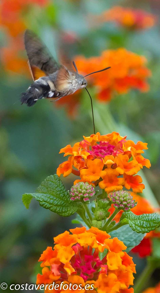 Macroglossum stellatarum  (46 of 128).jpg