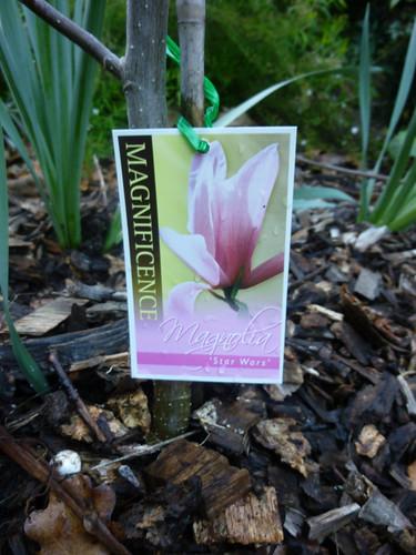 stahwaz magnolia