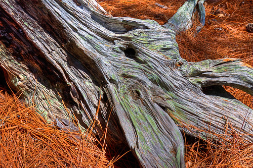 Hodges Garden-Cypress-Stump