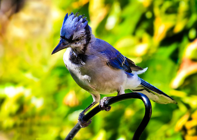 Mr. Blue Jay. Close and Personal.