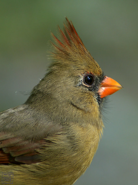 Northern Cardinal female, Oct 2011